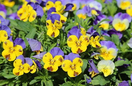 Yellow and blue pansy flowers - Spring flowers - Poland