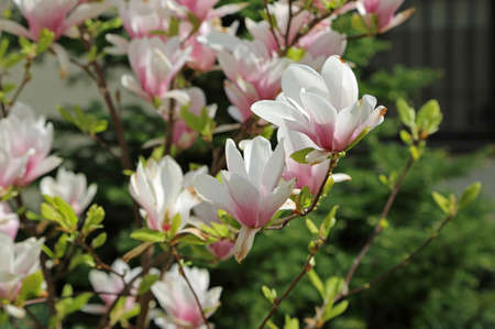 Blooming magnolia - Spring flowers - Poland
