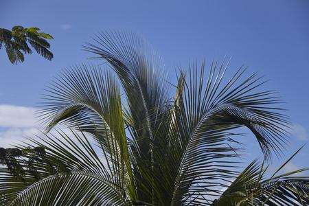 Coconut Palmtree in the caribbean Sea on Martinique