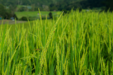 zoom of Rice field Stock Photo