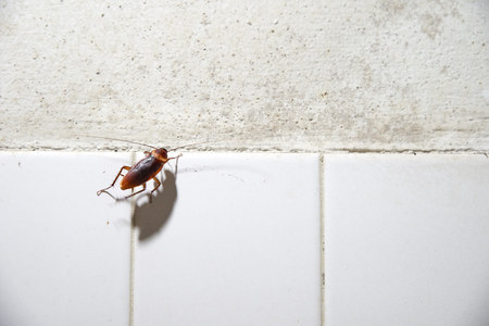 Cockroach crawling on white tile wall bathroom