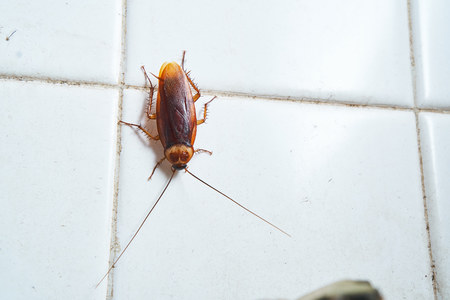 Cockroach crawling on bathroom white tile wall