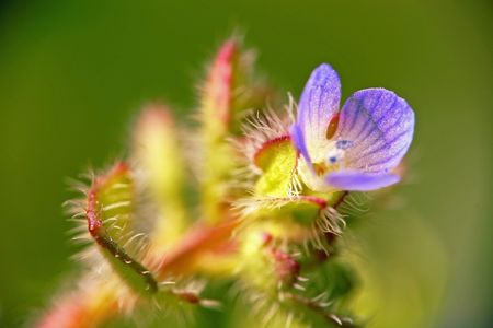 dearly: extreme macro - tiny little blue flower