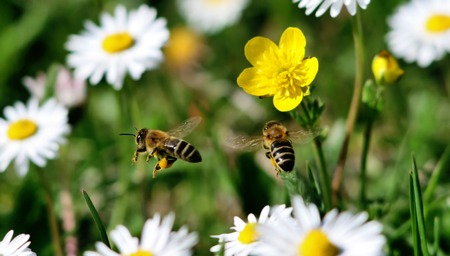bee on flower: two bees flying together in a meadow of white and yellow flowers Stock Photo