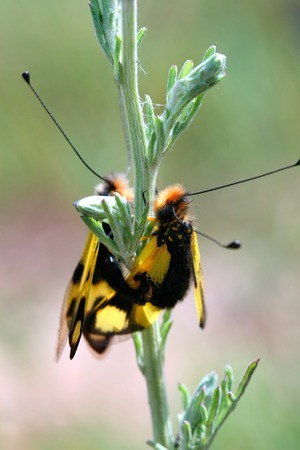 copulate: two flying insect mating on a plant