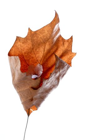 close up of a dry folded maple leaf photo