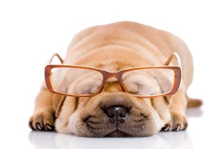 clumsy: Shar Pei beb� perro, casi un mes de antig�edad, con gafas  Foto de archivo