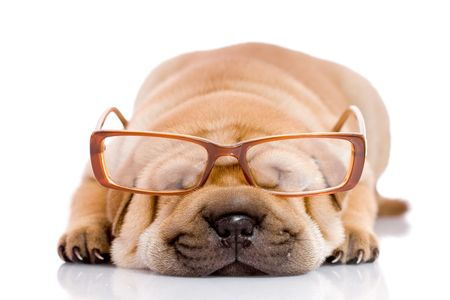 Shar Pei  dog, almost one month old, with glasses