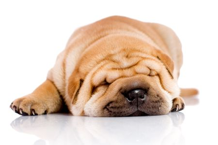 Shar Pei  dog, almost one month old