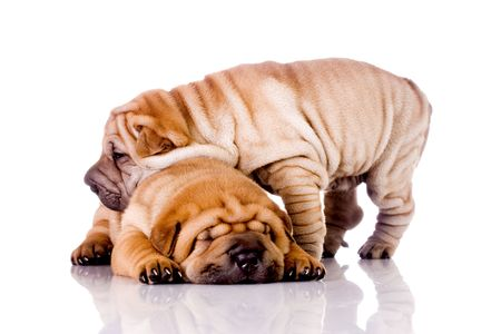 two Shar Pei  dogs, almost one month old photo