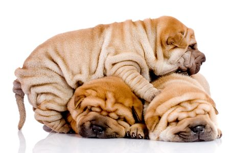 three Shar Pei baby dogs, almost one month old photo
