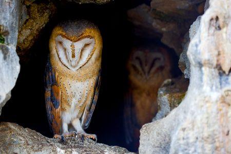 portrait of a barn owls in betwen rocks photo