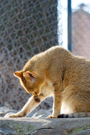 catlike: portrait of a wild cat cleaning