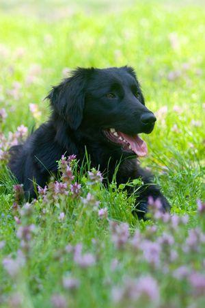 golden retriever, black, in a meadow Stock Photo - 4800315
