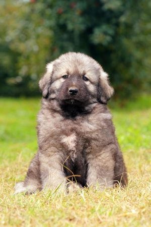 sephardi: Sarplaninec - Shara Mountain Dog, Macedonian shepherd dog, couple of months old Stock Photo
