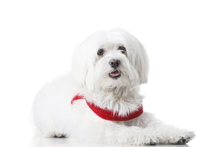 Bichon puppy with red collar isolated on white