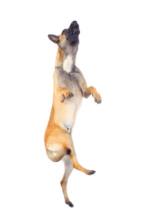 belgian shepherd dog jumping against white background Stock Photo - 7936038