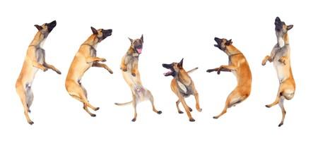 perro corriendo: perro de Pastor belga correr y saltar sobre fondo blanco  Foto de archivo