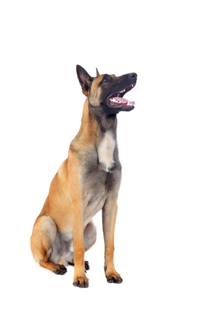 sheepdog: belgian shepherd dog isolated on white background