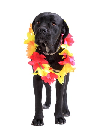 molosse: Cane Corso purebred dog portrait isolated on white background