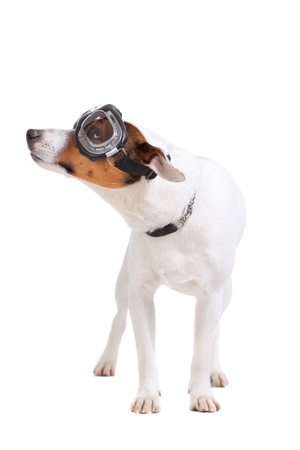 Jack Russel Terrier purebred dog with goggles isolated on white background Stock Photo