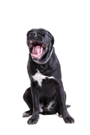 molosse: Cane Corso purebred dog portrait, isolated on white background Stock Photo