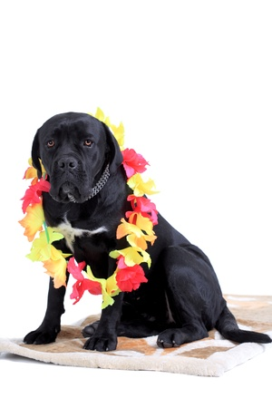 molosse: Cane Corso purebred dog portrait against white background Stock Photo