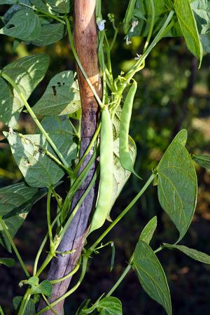 green been: green beanon his plant