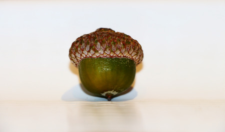 genera: The acorn, or oak nut, is the nut of the oaks and their close relatives (genera Quercus and Lithocarpus, in the family Fagaceae). It usually contains a single seed (rarely two seeds), enclosed in a tough, leathery shell, and borne in a cup-shaped cupule.  Stock Photo