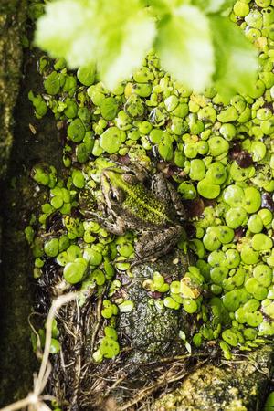 anura: Anfibios sin cola (Anura), refieren com�nmente como ranas son anfibios fin, incluidos alrededor de 5.000 especies. Foto de archivo