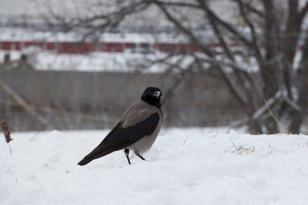 daw: The hooded crow (Corvus cornix) (also called hoodiecrow) is a Eurasian bird species in the crow genus. Widely distributed, it is also known locally as Scotch crow, Danish crow, and grey crow (in Ireland and Denmark). Found across Northern, Eastern and Sou