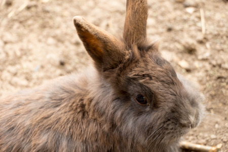 european rabbit: Tame or domestic rabbits are domesticated form of the type of European rabbit Oryctolagus cuniculus .Sazdadeni are over 60 breeds that belong to four main groups  meat meat and skin for leather and wool. Stock Photo