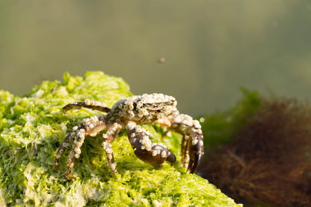 decapod: Crabs are decapod crustaceans of the infraorder Brachyura which typically have a very short projecting