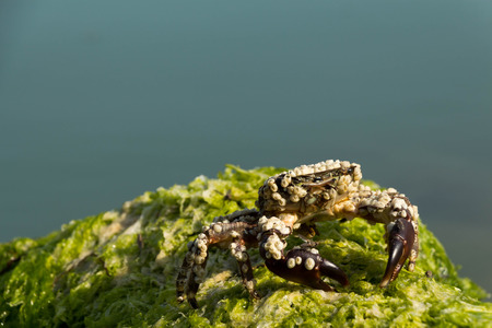 crustaceans: Crabs are decapod crustaceans of the infraorder Brachyura which typically have a very short projecting