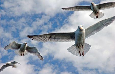 seagulls flying photo