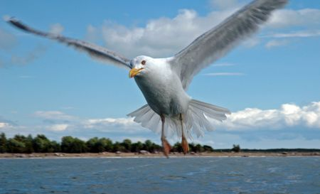 seagull flying Stock Photo - 3770253