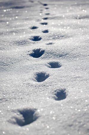 animal footprints in the snow  photo