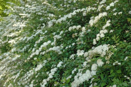 perianth: white blossom front of garden