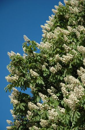 perianth: white flowers of lilac isolated in blur sky Stock Photo