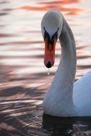 white swan at sunset photo