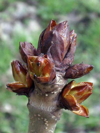chestnut bud on tree photo