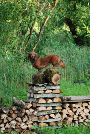 Dachshund on top of stack of firewood Stock Photo