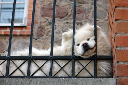 dog chow chow in front of house and  behind bars