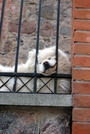 furred: dog chow chow in front of house and  behind bars