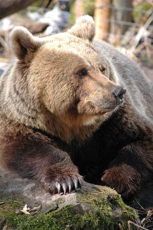 grates: brown bear (Ursus arctos) behaind the grates Stock Photo