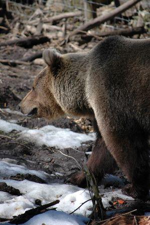 arctos: brown bear (Ursus arctos) Stock Photo