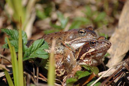animal mating: Frog pairing
