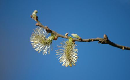 salix: Pussy-willow (Salix) branch isolated on blue sky