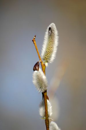salix: Pussy-willow (Salix) branch with fly top of it