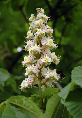conker: Aesculus hippocastanum (blossom of horse-chestnut tree) with honeybee